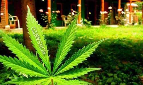 Monsanto se apunta a crear una marihuana transgenica mas potente